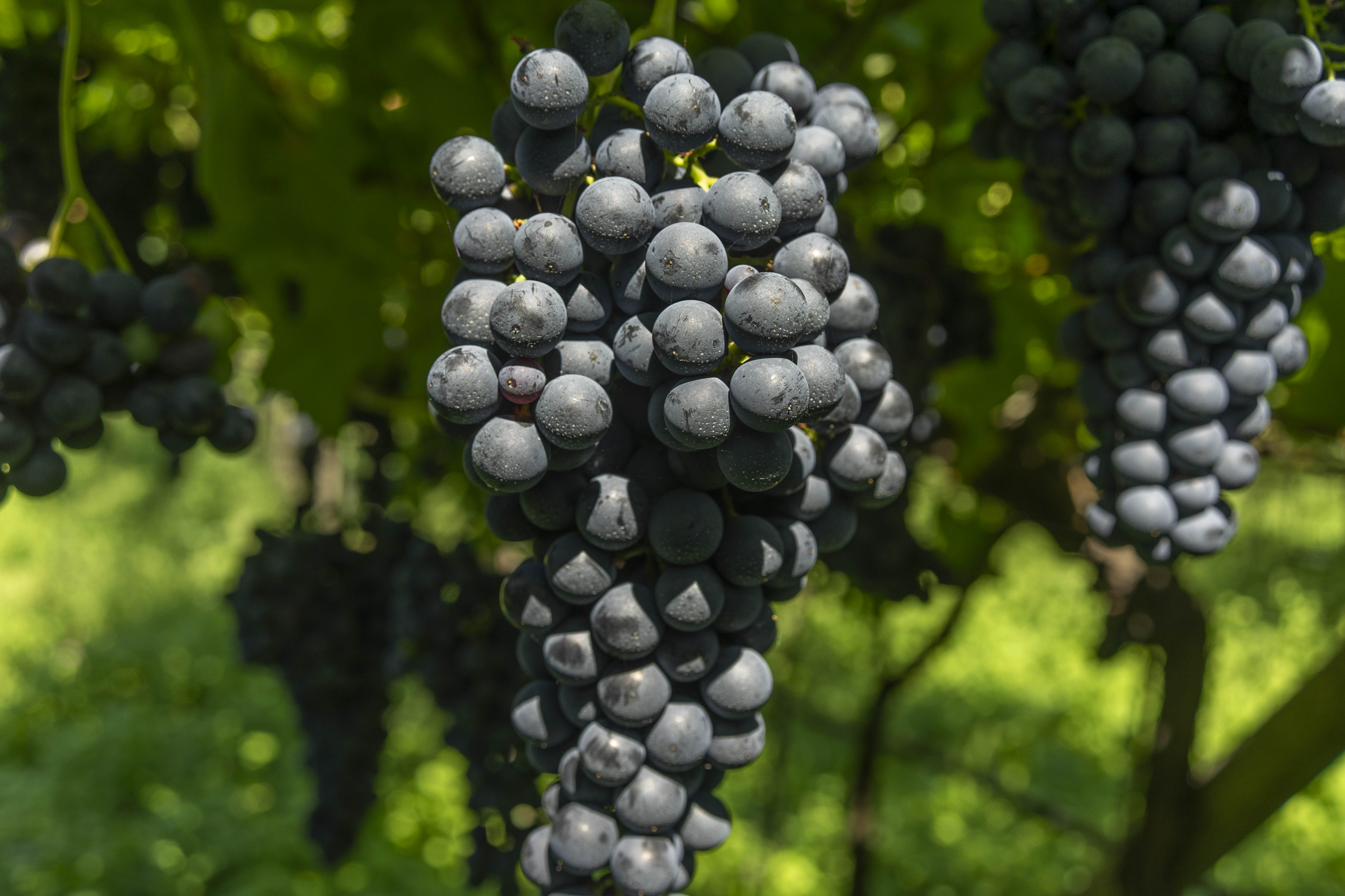 teroldego_Grape_foradori_morei